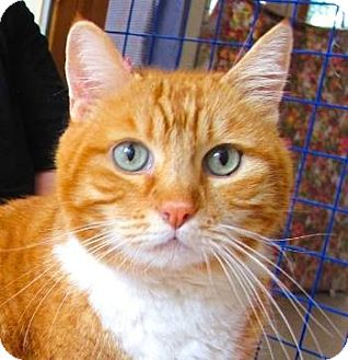 Domestic Shorthair Cat for adoption in Davis, California - Simba