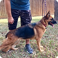 Adopt A Pet :: Bacall - Houston, TX