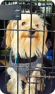 Yorkie, Yorkshire Terrier Mix Dog for adoption in Sugar Grove, Illinois - Harley