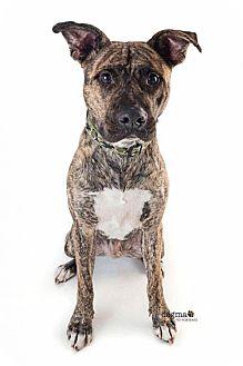 Catahoula Leopard Dog/Labrador Retriever Mix Dog for adoption in Huntington Beach, California - Ford