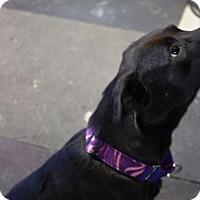 Adopt A Pet :: URGENT - Callie - Albany, NY