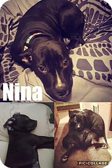 American Pit Bull Terrier/Labrador Retriever Mix Puppy for adoption in St Clair Shores, Michigan - Nina