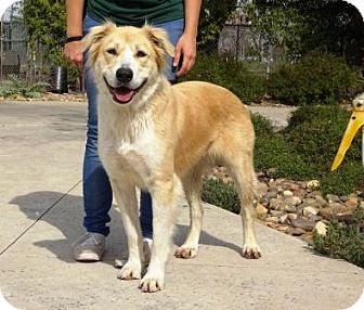 Australian Shepherd Mix Dog for adoption in Lathrop, California - Remi