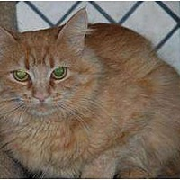 Domestic Mediumhair Cat for adoption in Auburn, California - June