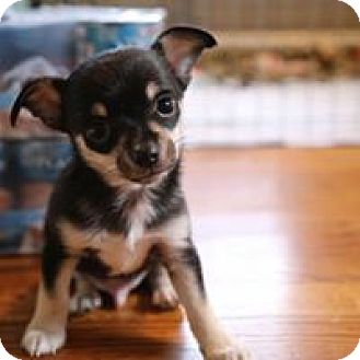 Chihuahua Puppy for adoption in Wyoming, Michigan - Monkey