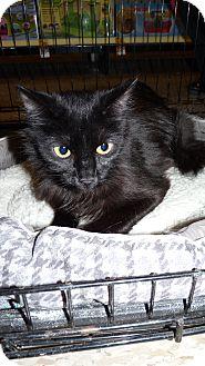 Domestic Longhair Cat for adoption in Bentonville, Arkansas - Rosie