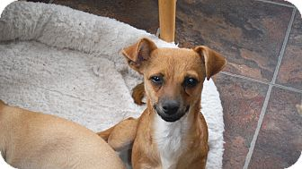 Chihuahua Mix Puppy for adoption in Arenas Valley, New Mexico - Squeaky