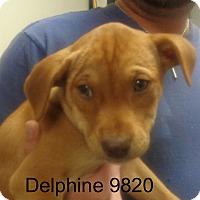 Adopt A Pet :: Delphine - Greencastle, NC