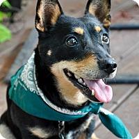 Adopt A Pet :: Remi - Austin, TX