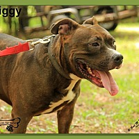 Pit Bull Terrier/Labrador Retriever Mix Dog for adoption in Sarasota, Florida - Piggy