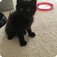 Adopt A Pet :: Cherry & Jammer-Littermates - Arlington, VA