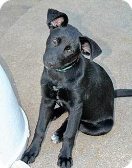 Labrador Retriever Mix Puppy for adoption in Brattleboro, Vermont - Puppy Cinder