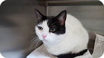 Domestic Shorthair Cat for adoption in Bloomfield, New Jersey - MOE