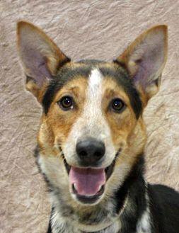 Australian Cattle Dog/Border Collie Mix Dog for adoption in Modesto, California - Johnnie