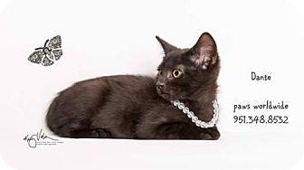 Havana Brown Kitten for adoption in Corona, California - DANTE