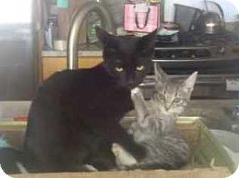 Domestic Shorthair Kitten for adoption in New York, New York - Dream Kitties JOLIE & RONRON