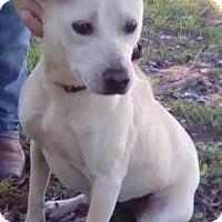 Jack Russell Terrier/Labrador Retriever Mix Dog for adoption in Orlando, Florida - Bunny
