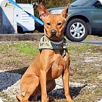 Adopt A Pet :: Dingo - Kingston, TN