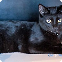 Bombay Kitten for adoption in Garland, Texas - Snoopy