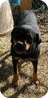 Rottweiler/American Bulldog Mix Dog for adoption in Rayville, Louisiana - Tiffah
