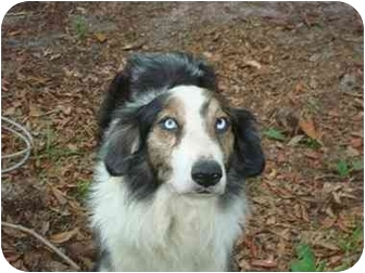 Australian Shepherd Dog for adoption in Orlando, Florida - Keifer