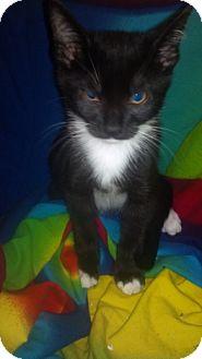 Domestic Mediumhair Kitten for adoption in Scottsdale, Arizona - Statler- courtesy post
