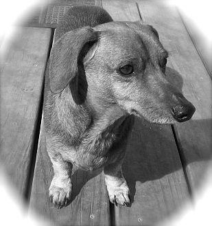 Dachshund Dog for adoption in CHAMPAIGN, Illinois - BEN