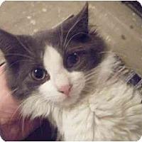 Adopt A Pet :: Pebbles - Kensington, MD