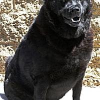 Adopt A Pet :: Bear - Gilbert, AZ