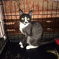 Domestic Mediumhair Cat for adoption in Chino, California - Tucker