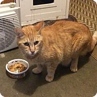 Domestic Mediumhair Cat for adoption in Lomita, California - Riley