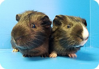Guinea Pig for adoption in Lewisville, Texas - Iago and Othello