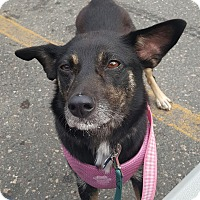 Adopt A Pet :: Nova - Minneapolis, MN