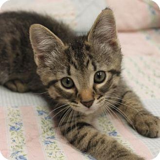 Domestic Shorthair Kitten for adoption in Naperville, Illinois - Sterling