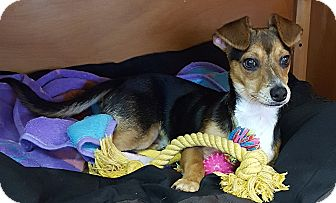Beagle/Dachshund Mix Puppy for adoption in Deer Park, Texas - Max