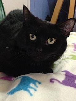 Domestic Shorthair Cat for adoption in Spring Valley, New York - Yvette