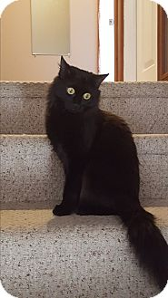 Domestic Mediumhair Cat for adoption in Huntsville, Ontario - Petunia - Adopted January 2017