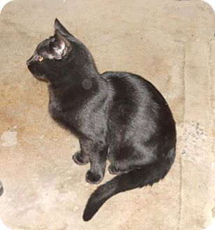 Domestic Shorthair Cat for adoption in Harrisburg, Pennsylvania - Eduardo (teenage male)