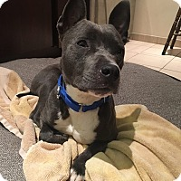 Staffordshire Bull Terrier/Pit Bull Terrier Mix Dog for adoption in Villa Park, Illinois - Lady
