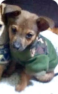 Australian Shepherd/Border Collie Mix Puppy for adoption in Boulder, Colorado - AidenADOPTION PENDING
