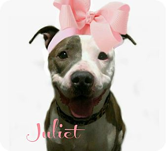 American Pit Bull Terrier Mix Dog for adoption in Des Moines, Iowa - Juliet