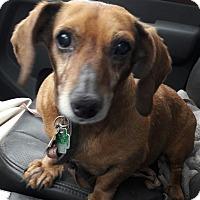 Adopt A Pet :: Delilah - Barrington Hills, IL