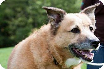 Corgi Dog for adoption in Novelty, Ohio - Gilda