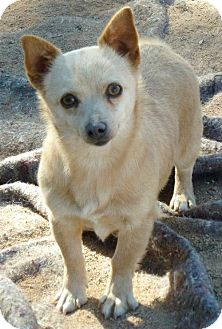 Chihuahua Mix Dog for adoption in Las Cruces, New Mexico - Nana