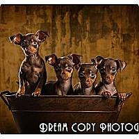 Adopt A Pet :: Min Pin puppies!! - Owensboro, KY