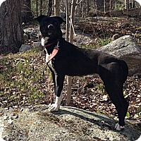 Adopt A Pet :: Bree - in Maine - kennebunkport, ME