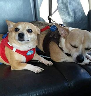 Chihuahua Mix Dog for adoption in Rye Brook, New York - Tiny and Shilo