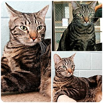 Domestic Shorthair Cat for adoption in Forked River, New Jersey - Logan