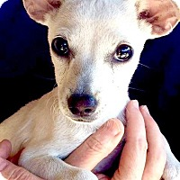 Chihuahua Puppy for adoption in Phoenix, Arizona - Storm
