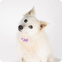 American Eskimo Dog Dog for adoption in St. Louis Park, Minnesota - Indiana